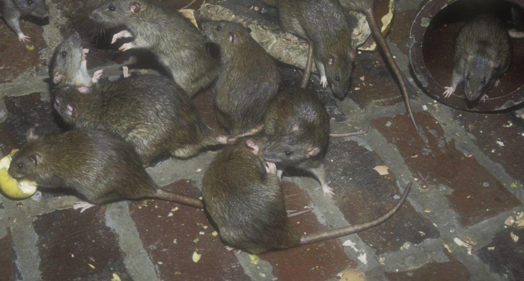 уничтожение крыс в Ишиме